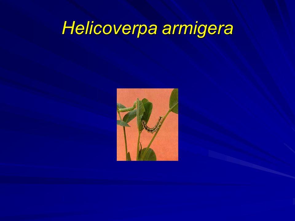 Helicoverpa armigera