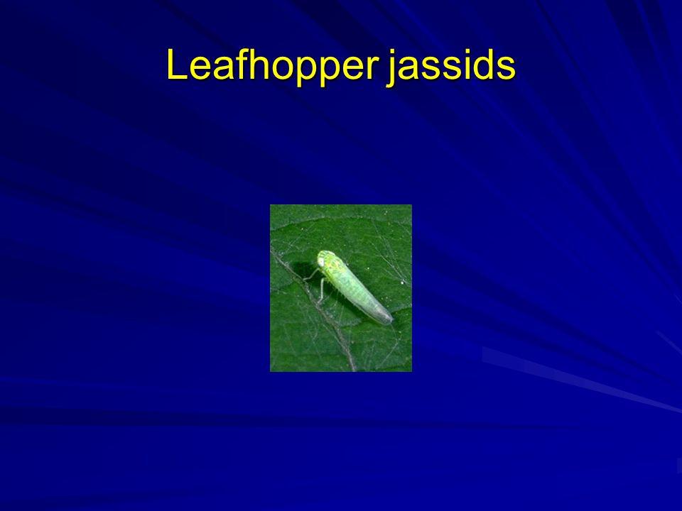 Leafhopper jassids