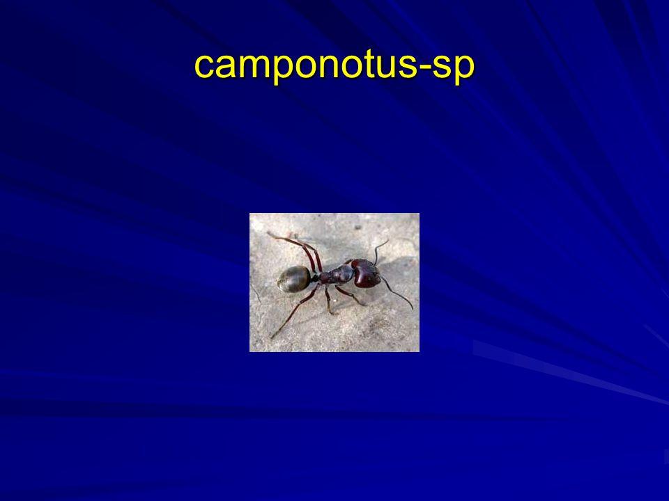 camponotus-sp