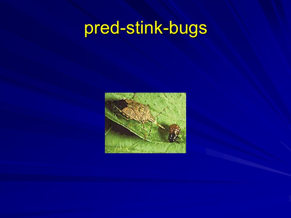 pred-stink-bugs