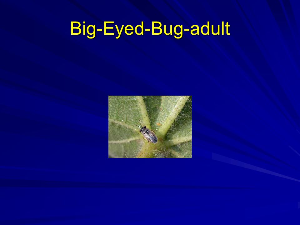 Big-Eyed-Bug-adult