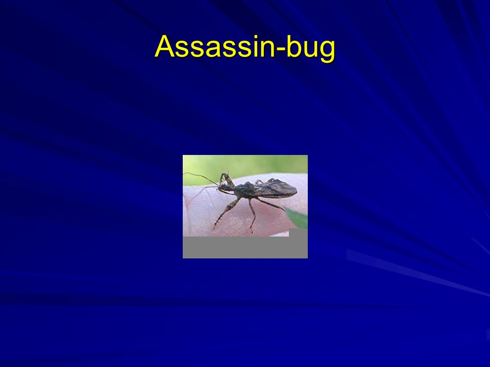 Assassin-bug