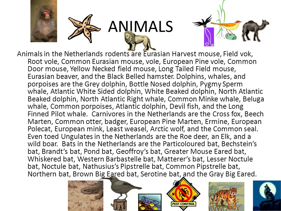 ANIMALS Animals in the Netherlands rodents are Eurasian Harvest mouse, Field vok, Root vole, Common Eurasian mouse, vole, European Pine vole, Common Door mouse, Yellow Necked field mouse, Long Tailed Field mouse, Eurasian beaver, and the Black Belled hamster.