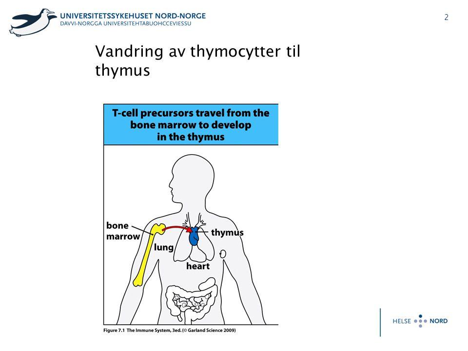 3 Modning av T-celler i thymus og vandring til sekundære lymfoide organer