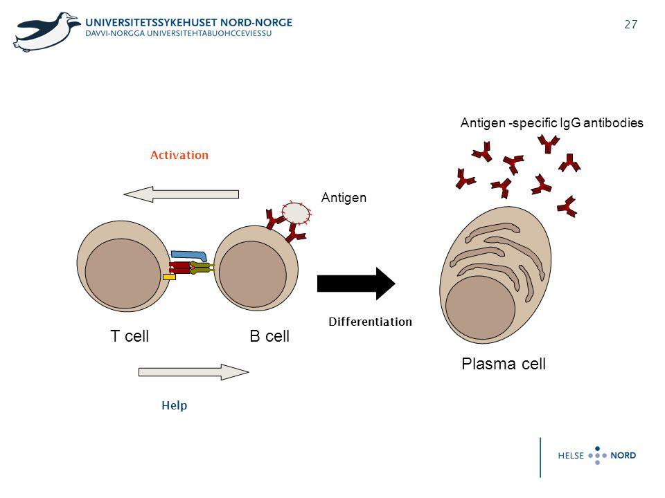 27 B cellT cell Antigen Plasma cell Antigen -specific IgG antibodies Activation Help Differentiation