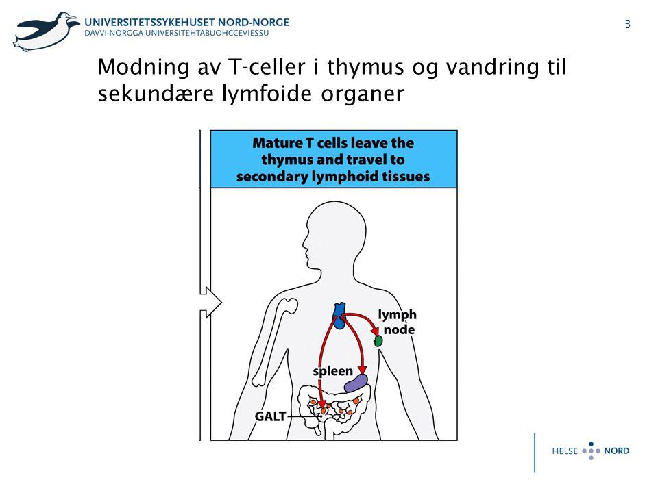 4 Thymus; struktur