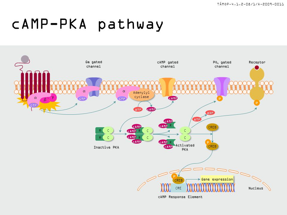 TÁMOP-4.1.2-08/1/A-2009-0011 cAMP-PKA pathway PO 4 gated channel Gα gated channel cAMP gated channelReceptor Inactive PKA ActivatedPKA GTP    Adeny