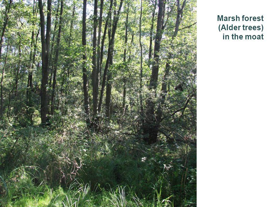 Marsh forest (Alder trees) in the moat