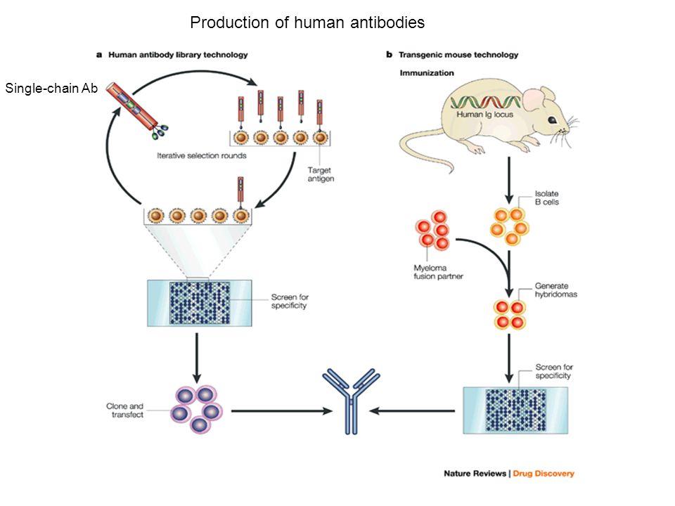Single-chain Ab Production of human antibodies