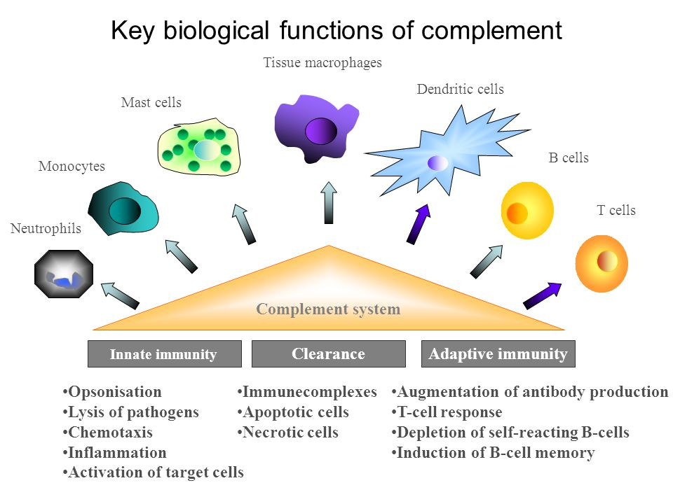 Complement system Innate immunity ClearanceAdaptive immunity Opsonisation Lysis of pathogens Chemotaxis Inflammation Activation of target cells Immune