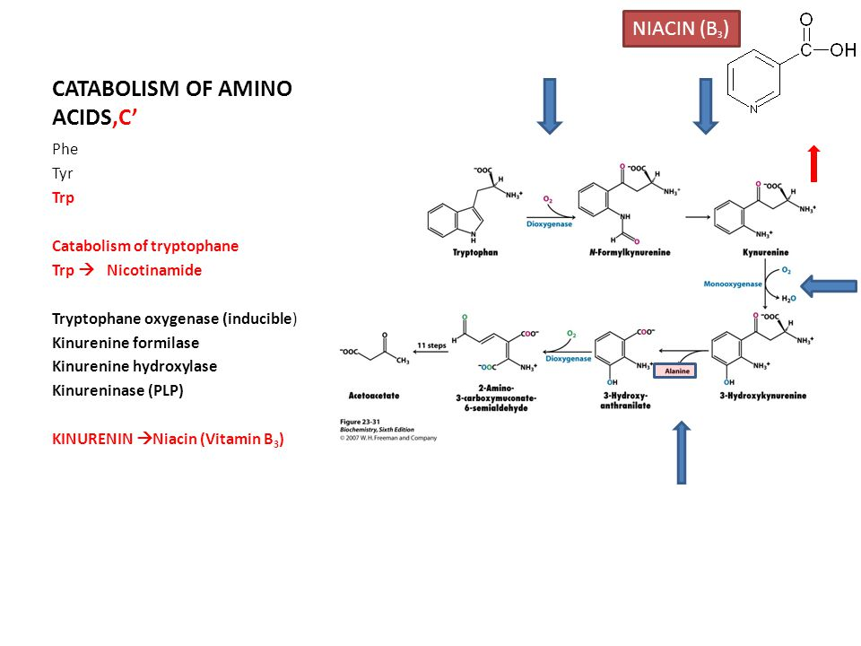 CATABOLISM OF AMINO ACIDS'C' Phe Tyr Trp Catabolism of tryptophane Trp  Nicotinamide Tryptophane oxygenase (inducible) Kinurenine formilase Kinurenine hydroxylase Kinureninase (PLP) KINURENIN  Niacin (Vitamin B 3 ) NIACIN (B 3 )