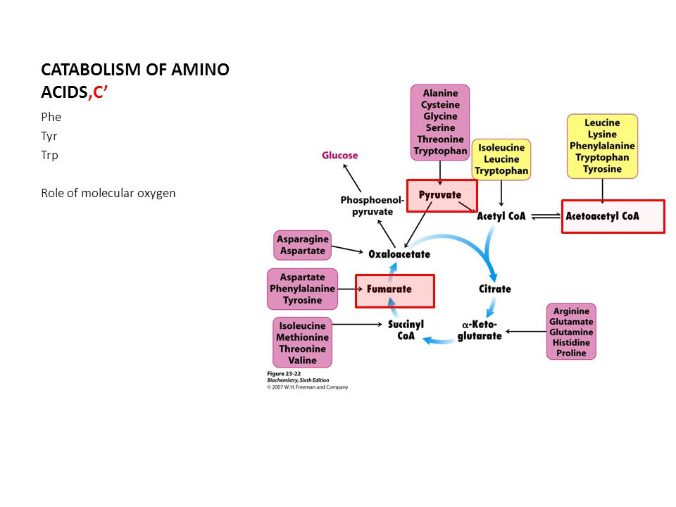 CATABOLISM OF AMINO ACIDS'C' Phe Tyr Trp Role of molecular oxygen