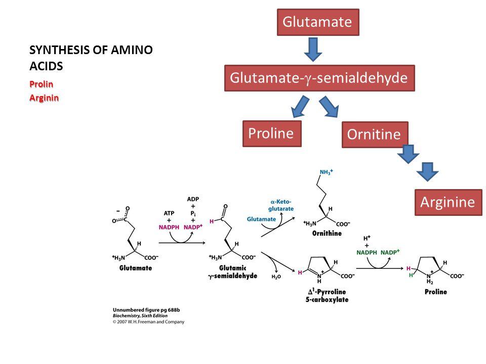 SYNTHESIS OF AMINO ACIDS ProlinArginin Glutamate Glutamate-  -semialdehyde Proline Ornitine Arginine