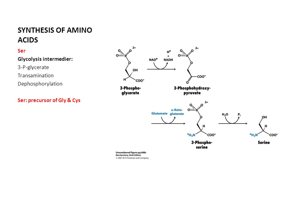 SYNTHESIS OF AMINO ACIDS Ser Glycolysis intermedier: 3-P-glycerate Transamination Dephosphorylation Ser: precursor of Gly & Cys