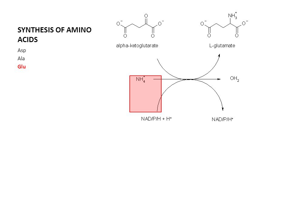 SYNTHESIS OF AMINO ACIDS Asp Ala Glu