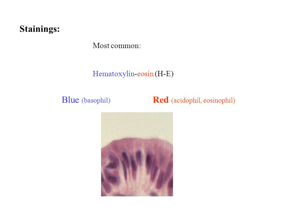 Stainings: Red (acidophil, eosinophil) Blue (basophil) Most common: Hematoxylin-eosin (H-E)