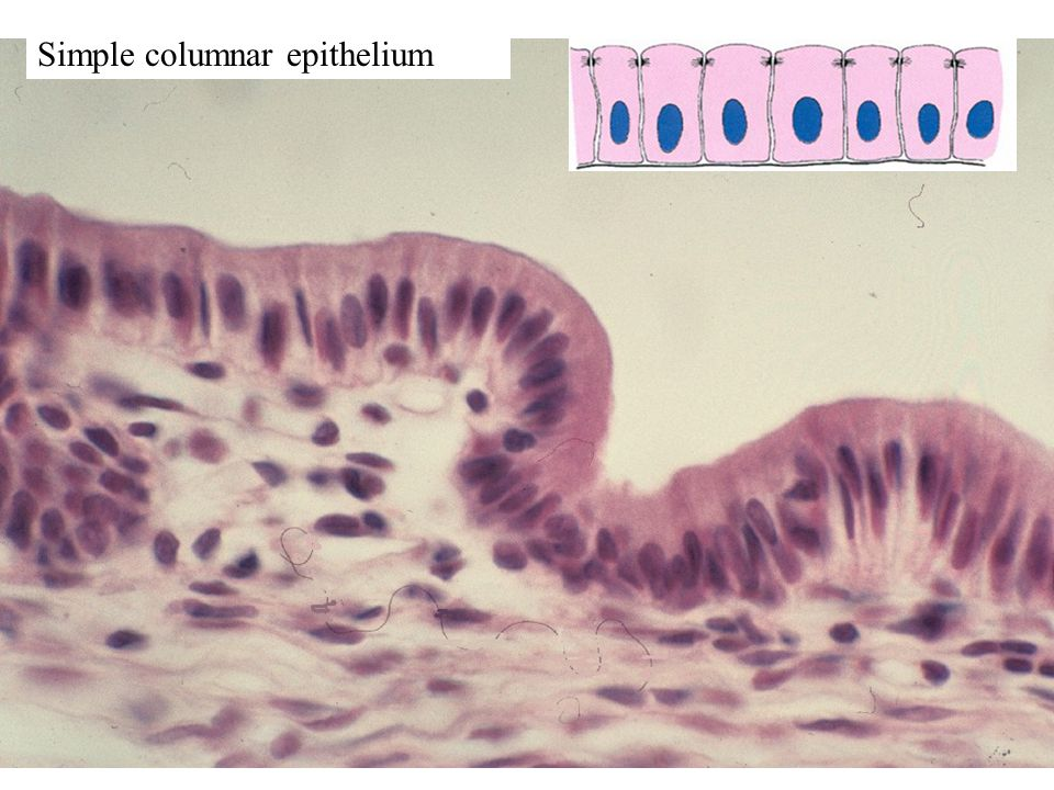 Simple columnar epithelium