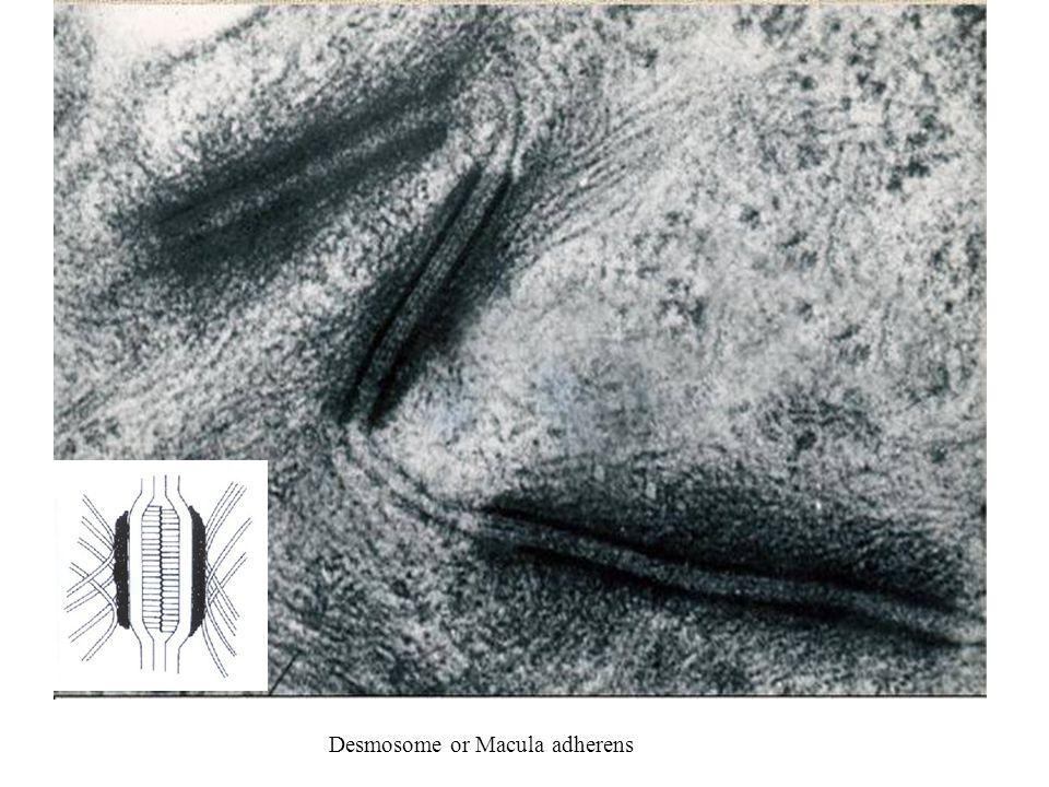 Desmosome or Macula adherens