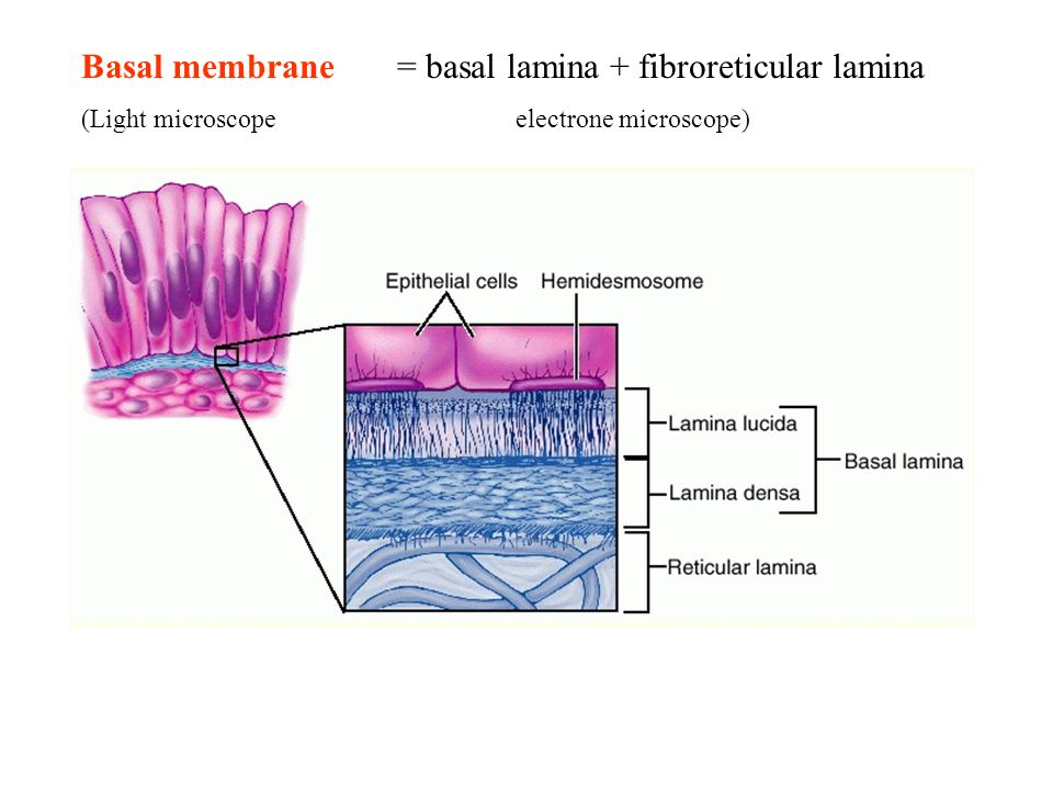 Basal membrane = basal lamina + fibroreticular lamina (Light microscope electrone microscope)