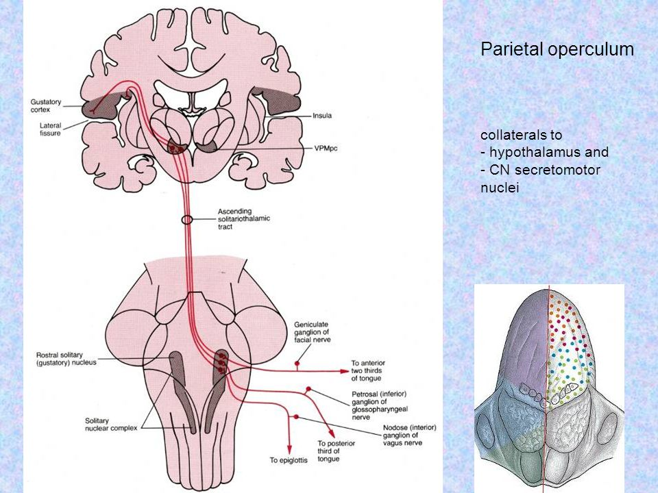 Parietal operculum collaterals to - hypothalamus and - CN secretomotor nuclei