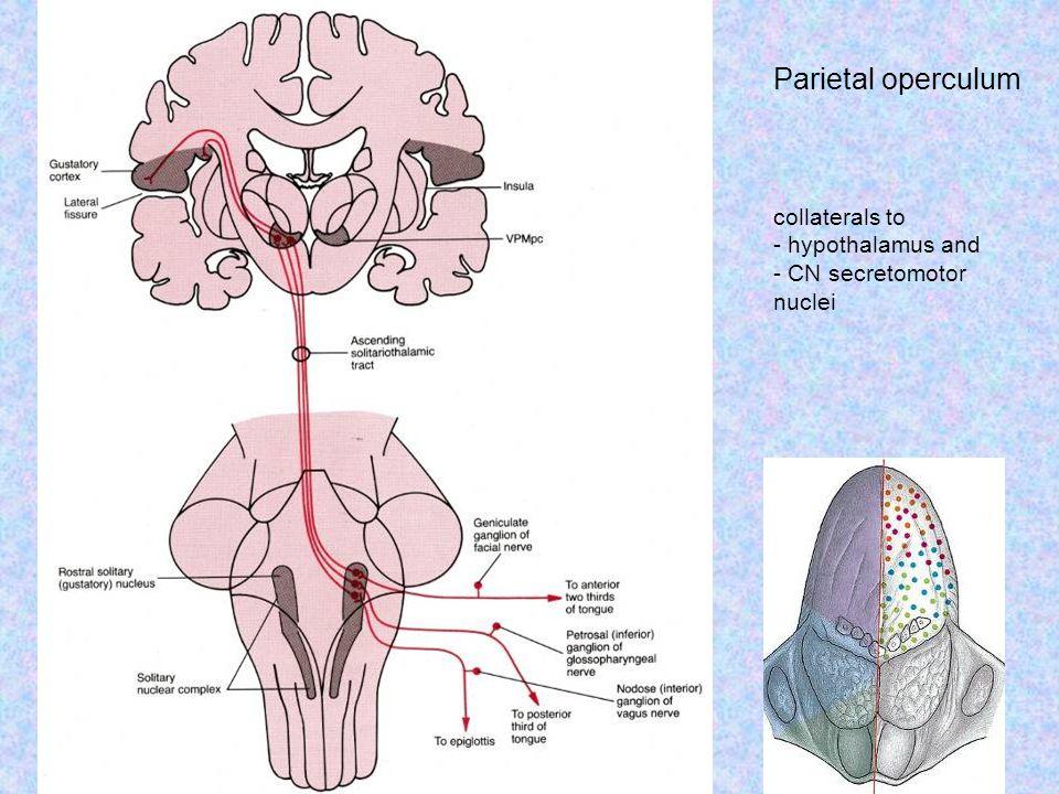 Parietal operculum collaterals to - hypothalamus and - CN secretomotor nuclei