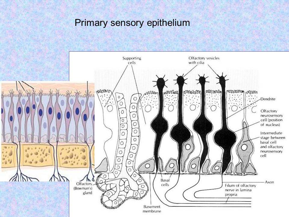 Primary sensory epithelium