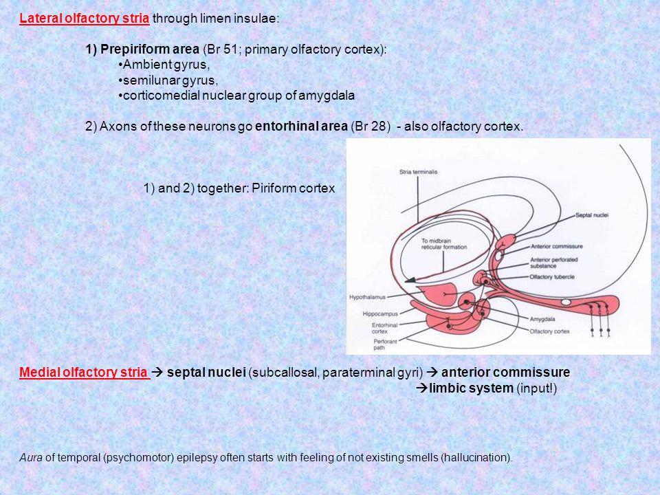 Lateral olfactory stria through limen insulae: 1) Prepiriform area (Br 51; primary olfactory cortex): Ambient gyrus, semilunar gyrus, corticomedial nu
