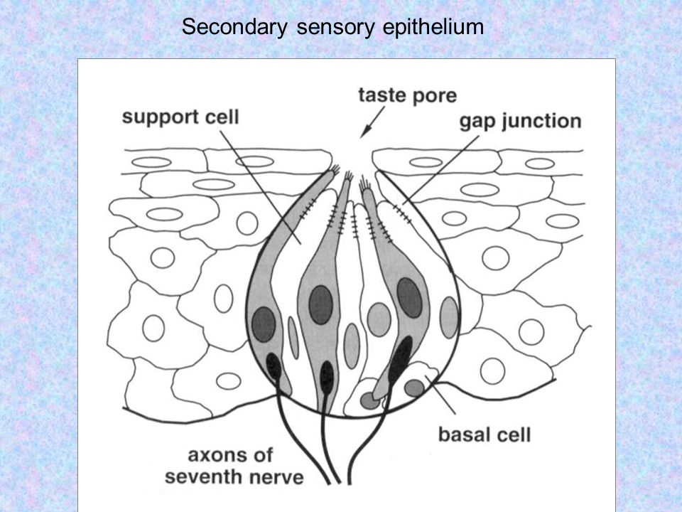 Secondary sensory epithelium