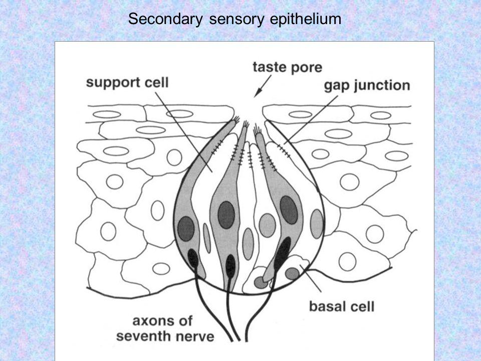 Secondary sensory epithelium