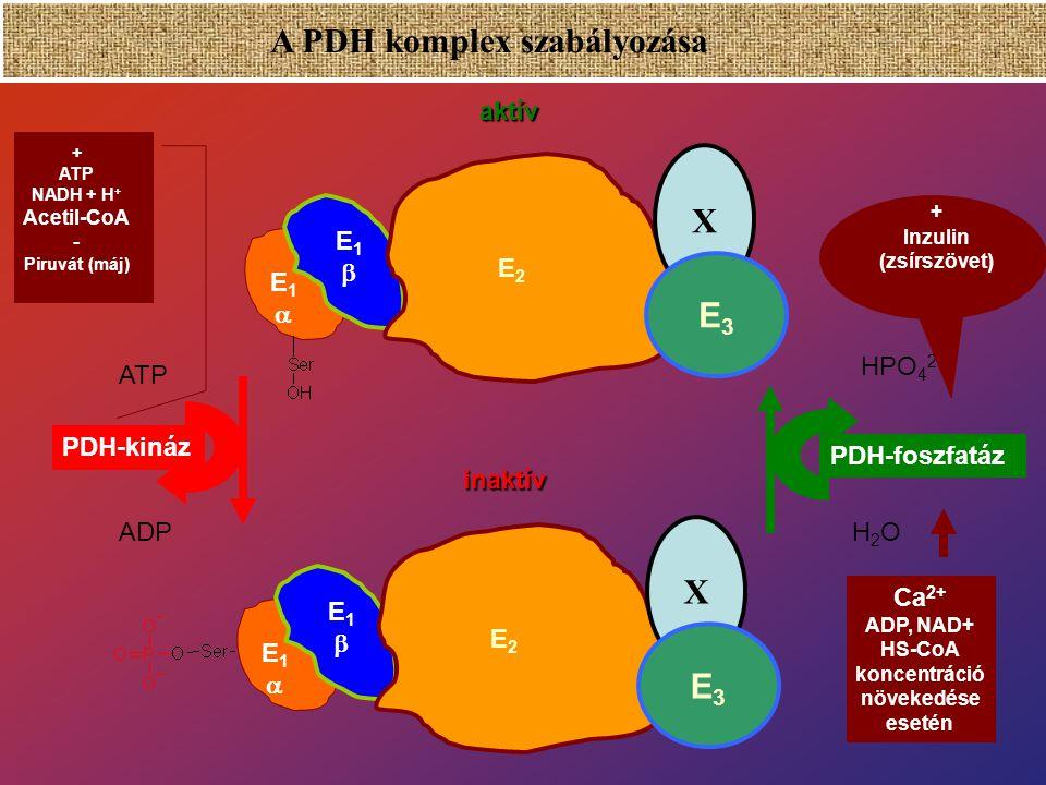 A piruvát-dehidrogenáz multienzim komplex (PDH – komplex) E 1 : Piruvát dehidrogenáz  2  2 (20-30) E 2 : Dihidrolipoil-transzacetiláz (60) x: alegys