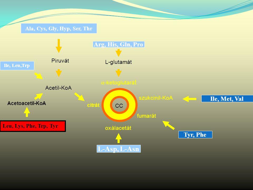  -ketoglutará t szukcinil-KoA fumarát oxálacetát citrát CC L-glutamát Arg, His, Gln, Pro Ala, Cys, Gly, Hyp, Ser, Thr Piruvát Acetil-KoA Ile, Leu,Trp Leu, Lys, Phe, Trp, Tyr Acetoacetil-KoA L-Asp, L-Asn Ile, Met, Val Tyr, Phe
