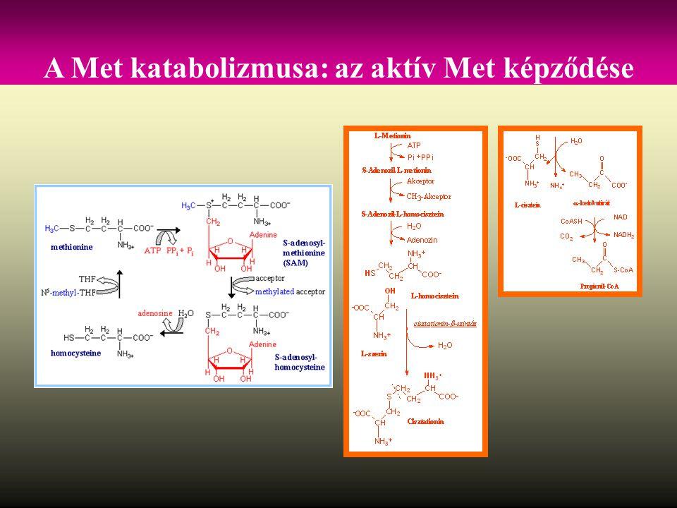 A Met katabolizmusa: az aktív Met képződése