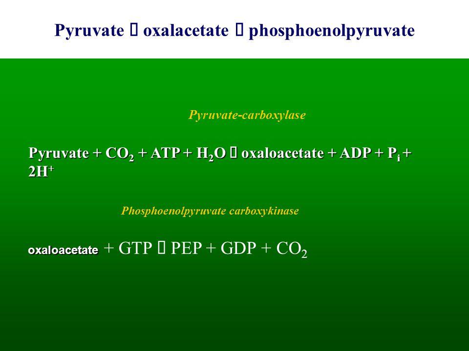 Pyruvate  oxalacetate  phosphoenolpyruvate Pyruvate + CO 2 + ATP + H 2 O  oxaloacetate + ADP + P i + 2H + oxaloacetate oxaloacetate + GTP  PEP + G