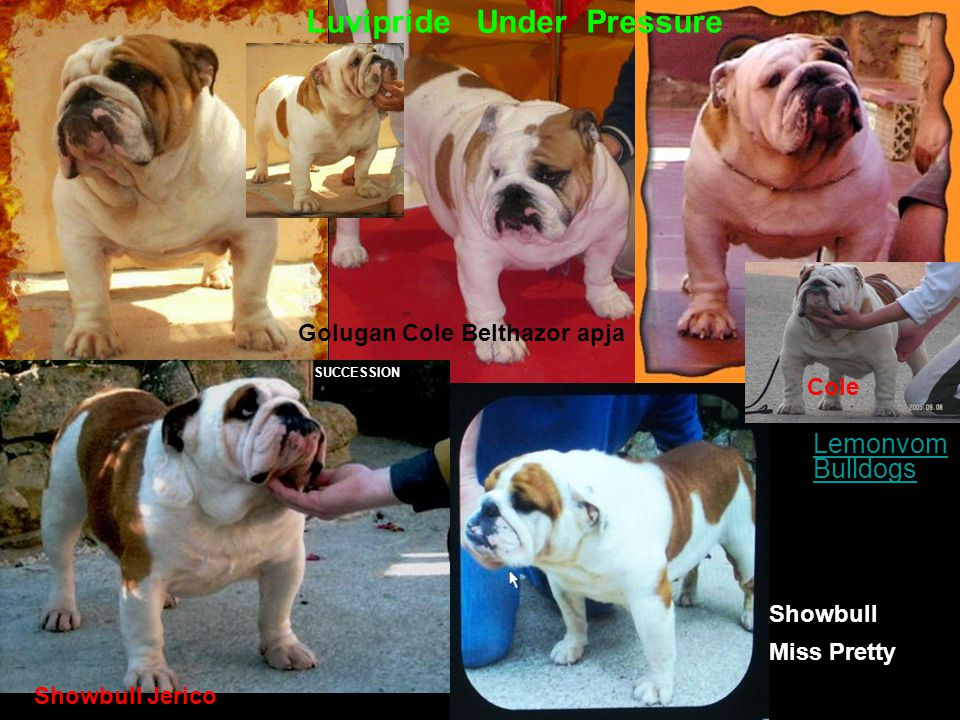 Lemonvom BulldogsLemonvom Bulldogs Luvipride Under Pressure Showbull Jerico Showbull Miss Pretty SUCCESSION Golugan Cole Belthazor apja Cole