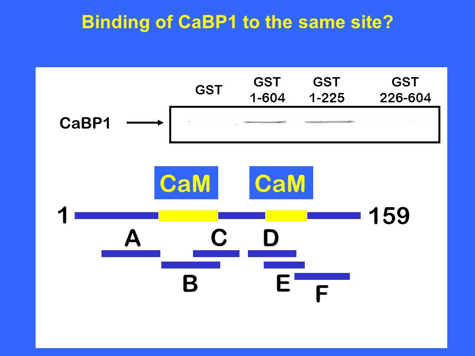 CaBP1 GST 1-604 GST 1-225 GST 226-604 Binding of CaBP1 to the same site? A B C E D F 1 CaM 159