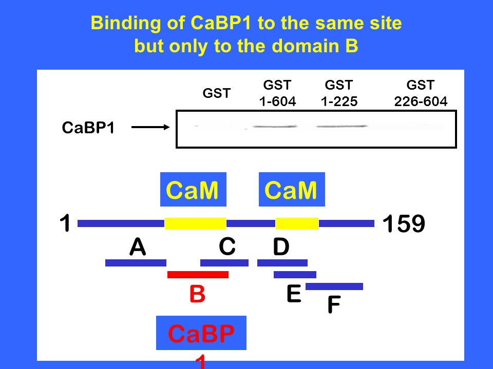 CaBP1 GST 1-604 GST 1-225 GST 226-604 Binding of CaBP1 to the same site but only to the domain B A B C E D F 1 CaM 159 CaBP 1