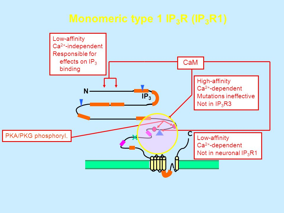 N C IP 3 Monomeric type 1 IP 3 R (IP 3 R1) CaM High-affinity Ca 2+ -dependent Mutations ineffective Not in IP 3 R3 Low-affinity Ca 2+ -dependent Not in neuronal IP 3 R1 PKA/PKG phosphoryl.