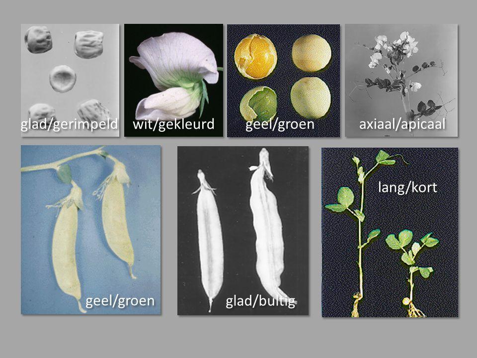 glad/gerimpeld geel/groen wit/gekleurd geel/groen glad/bultig axiaal/apicaal lang/kort