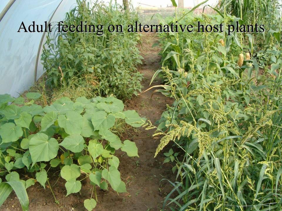 Adult feeding on alternative host plants