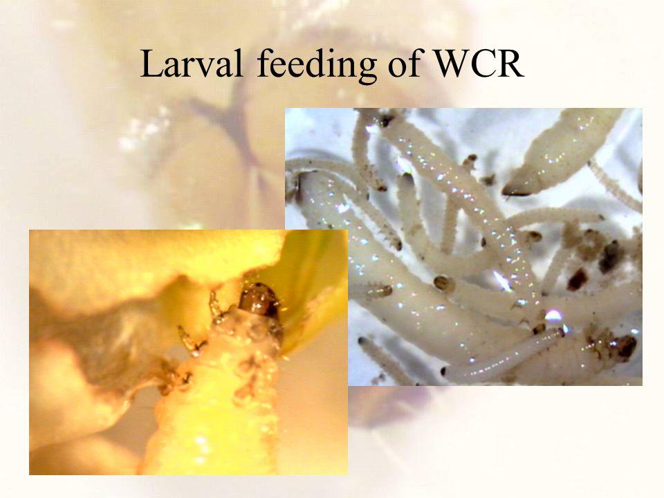 Larval feeding of WCR