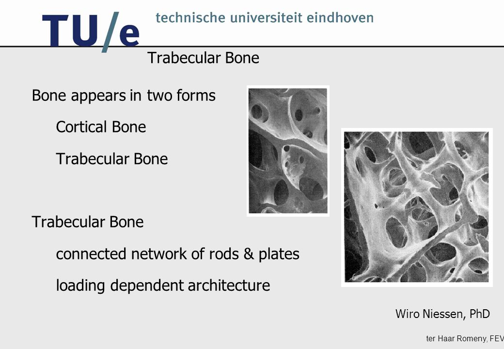 ter Haar Romeny, FEV Trabecular Bone Bone appears in two forms Cortical Bone Trabecular Bone connected network of rods & plates loading dependent architecture Wiro Niessen, PhD