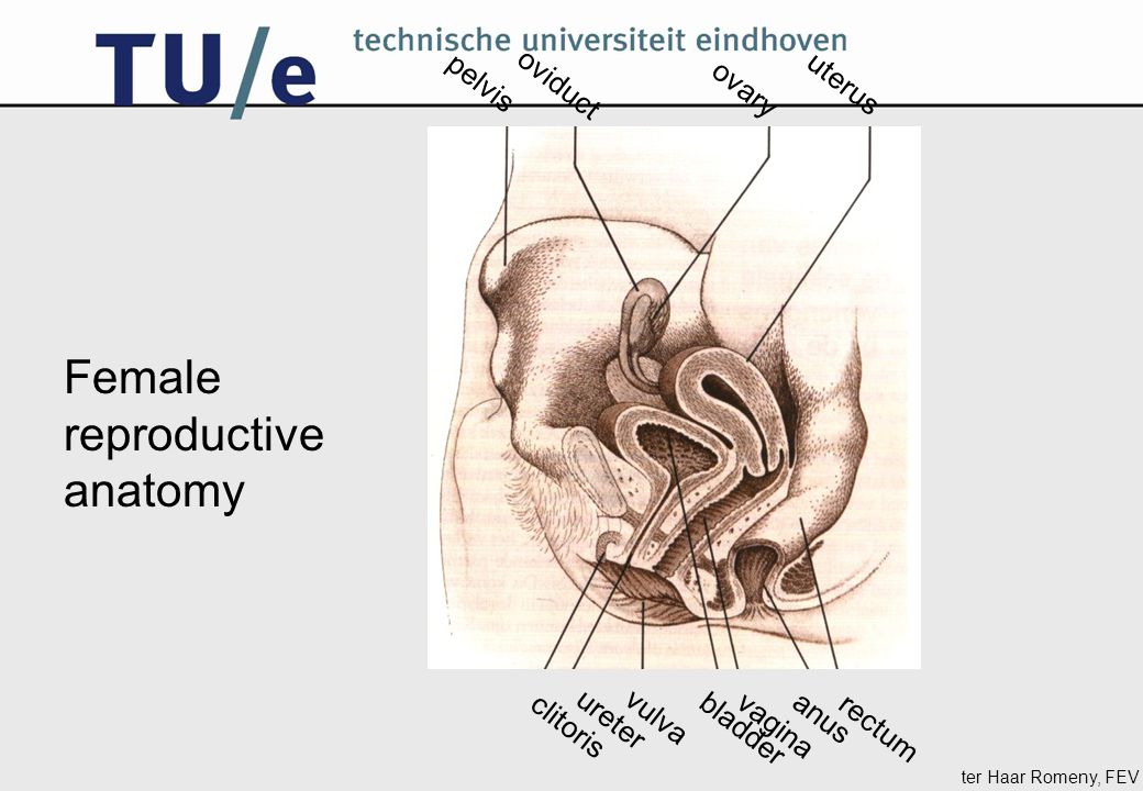 ter Haar Romeny, FEV pelvis oviduct ovary uterus rectum vagina anus bladder vulva ureter clitoris Female reproductive anatomy