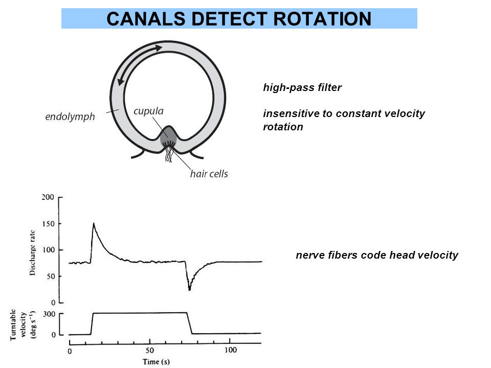 CANALS DETECT ROTATION high-pass filter insensitive to constant velocity rotation nerve fibers code head velocity