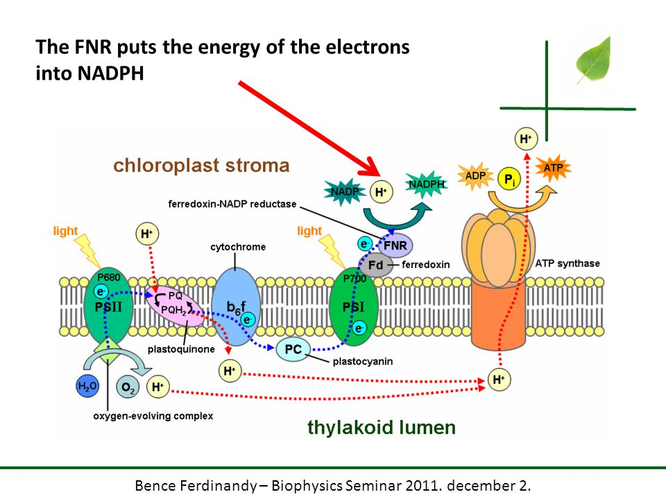 Bence Ferdinandy – Biophysics Seminar 2011. december 2. The FNR puts the energy of the electrons into NADPH