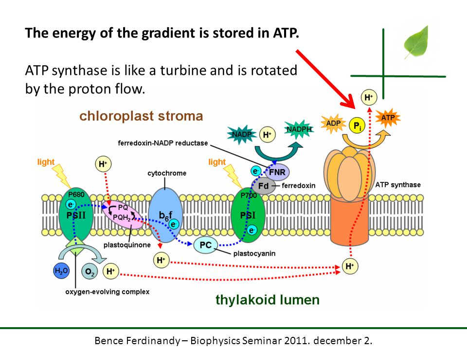 Bence Ferdinandy – Biophysics Seminar 2011. december 2. The energy of the gradient is stored in ATP. ATP synthase is like a turbine and is rotated by