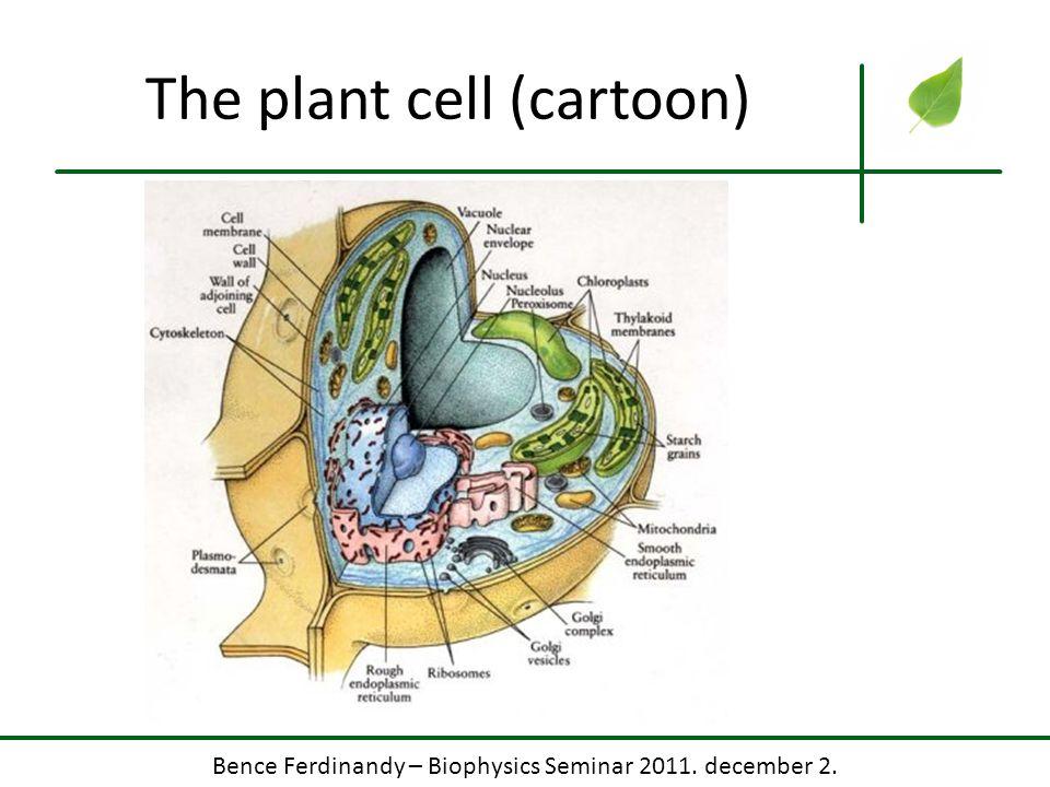 Bence Ferdinandy – Biophysics Seminar 2011. december 2. The plant cell (cartoon)