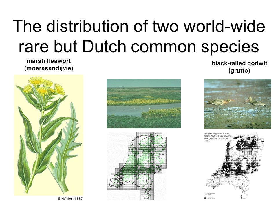 The distribution of two world-wide rare but Dutch common species black-tailed godwit (grutto) marsh fleawort (moerasandijvie)