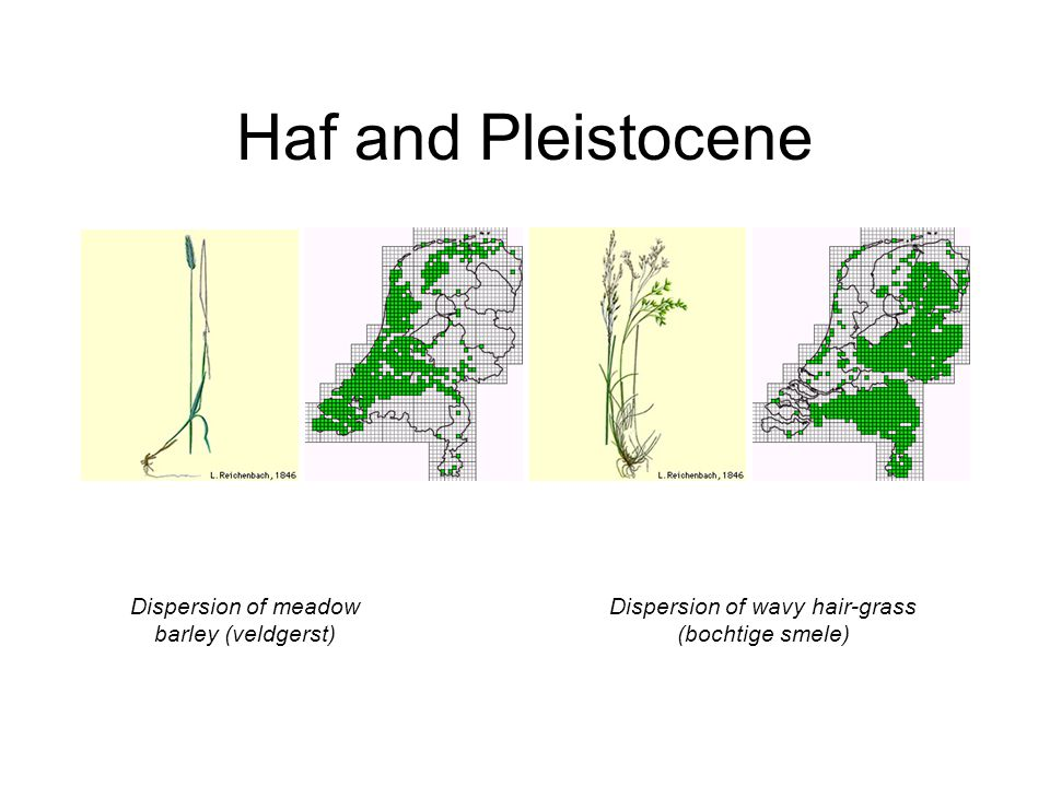 Haf and Pleistocene Dispersion of meadow barley (veldgerst) Dispersion of wavy hair-grass (bochtige smele)