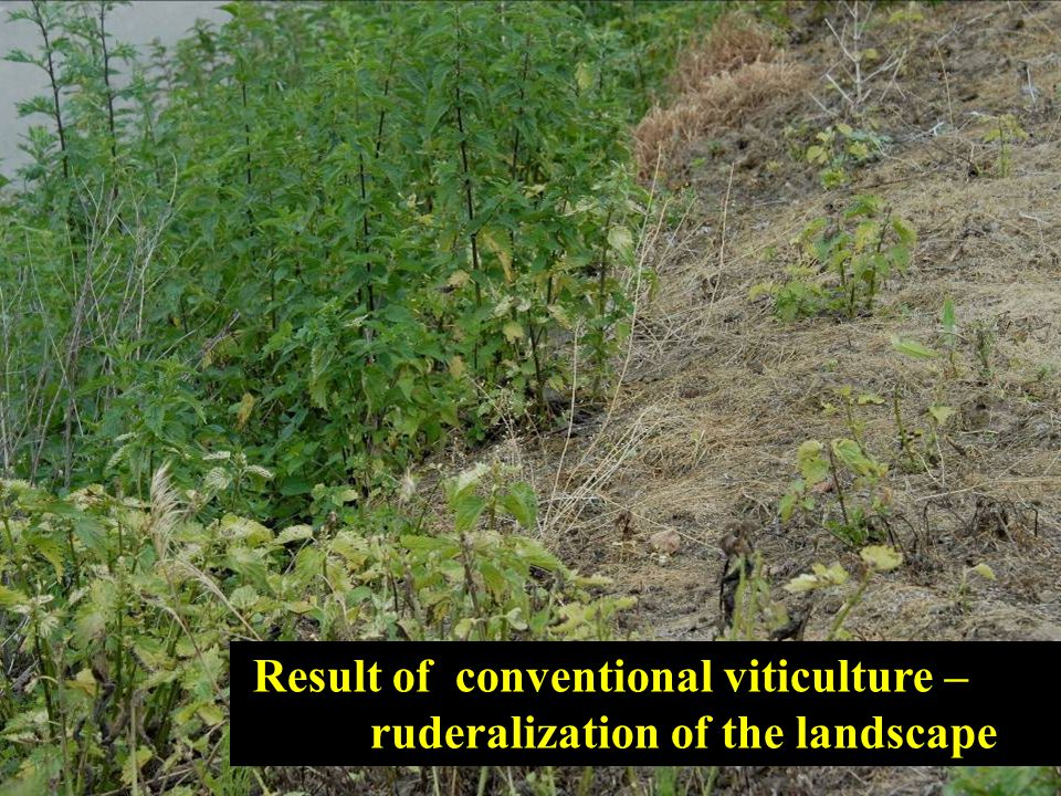 Result of conventional viticulture – ruderalization of the landscape