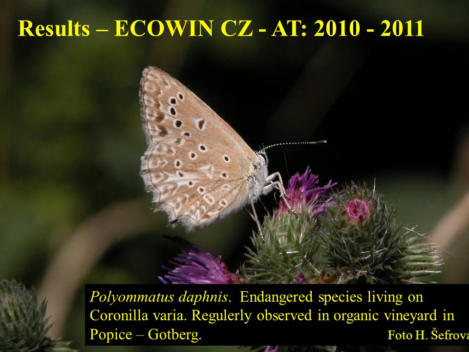 Polyommatus daphnis. Endangered species living on Coronilla varia. Regulerly observed in organic vineyard in Popice – Gotberg. Foto H. Šefrová Results